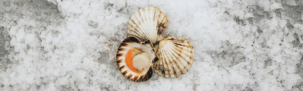 Scallops-shellfish-fishing-fresh-caught
