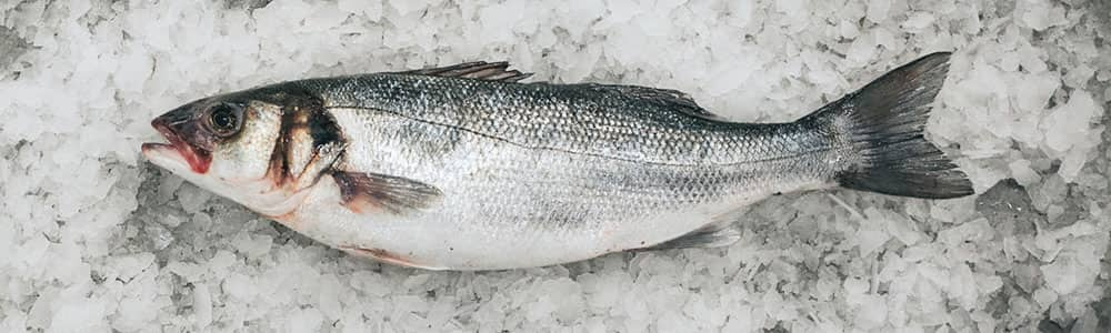 Sea-bass-european