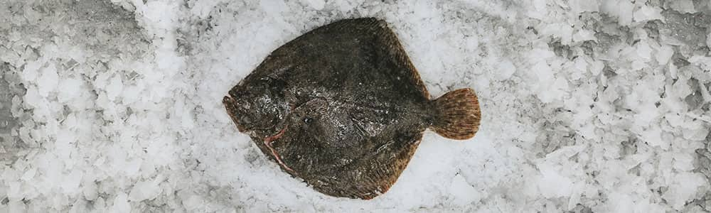 Turbot-fresh-fish-south-devon
