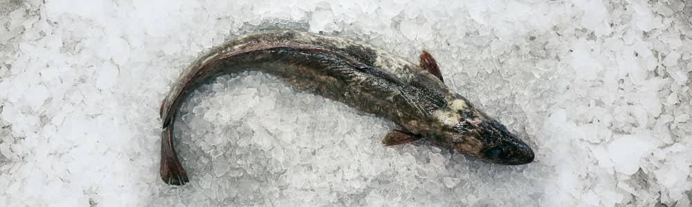 Ling-Fish-Image-locally-caught-devon
