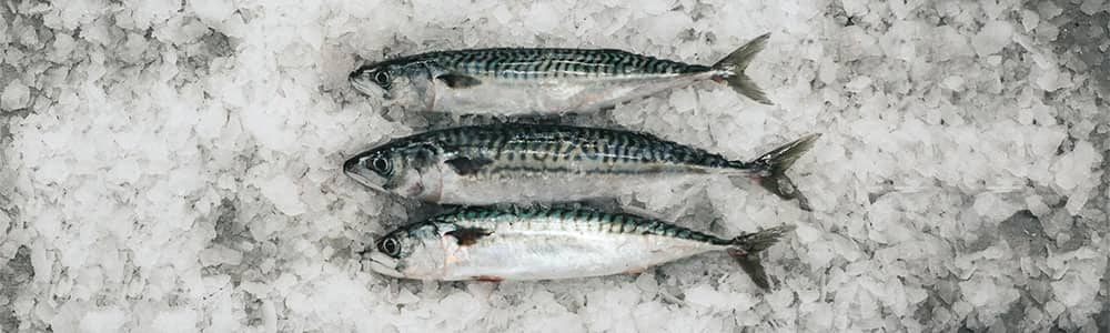 Mackerel-fish-locally-caught-sustainable-devon